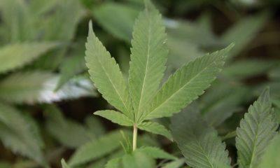 Legalizált marihuána használat